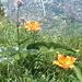 Feuerlilien in ihrer ganzen pracht
