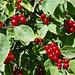 Rote Heckenkirschen am Rand der Bisse (Lonicera xylosteum)