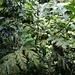 Ein junger Brotfruchtbaum (Artocarpus altilis). Ihren Namen erhielt die Kulturpflanze deshalb, weil die Europäer von den biskuitartigen Backprodukten beeindruckt waren, die die Polynesier aus den Früchten dieses Baumes herstellen.
