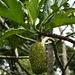 Brotfrucht eines ausgewachsenen Baumes im Botanischen Garten. Der Stärkegehalt einer solchen Frucht liegt bei 22%, in getrocknetem Zustand steigt er gar auf 70%.