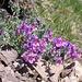 Immer wieder faszinierend: die Leuchtkraft der Bergblumen (Alpen-Leinkraut (Linaria alpina))