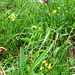 Spitzorchis oder Hundswurz, Anacamptis pyramidalis (vor Baumgartenalm auf 1400m)