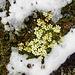 Blaugrüner Steinbrech von Neuschnee umsäumt