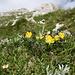 Blumen am Weg, hinten der Große Pyhrgas