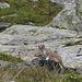 ein munteres Wiesel springt von Stein zu Stein