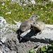 Due bellissime marmotte.