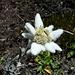 Stella alpina o Edelweiss.