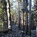 Im Abstieg vom Lembert Dome - Eines der typischen Wegstücke im Wald.