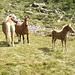 Famigliola di equini all'Alpe Tamia