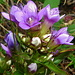 Reichästriger nicht Gefranster Enzian. Die Blumen blühen auch unter trübem Himmel herrlich.