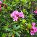 Rostblättrige Alpenrose (Rhododendron ferrugineum).