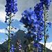 Gladiolen (oder?) und ein potenzielles nächstes Ziel, das Almagellerhorn