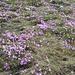Ganze Flächen violett (Primula integrifolia)