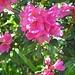 Bewimperte Alpenrose (Rhododendron hirsutum) im Abstieg