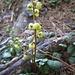 Botanische Rarität: Das seltene Grünliche Wintergrün (Pyrola chlorantha), ein Fichtenwaldbewohner, der zur kleinen Familie der sämtlich seltenen Wintergrüngewächse gehört