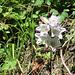 Campanula barbata<br />Campanulaceae<br /><br />Campanula barbata.<br />Campanule barbue.<br />Bärtiges Glockenblume.