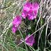 Primula latifolia?