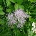 Pigamo colombino (Thalictrum Aquilegifolium)