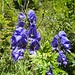 Wegbegleiter: Blauer Eisenhut