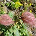 auch sie immer wieder beeindruckend, die gealterten Blüten des Kriechenden Nelkenwurzes