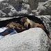"""Gipfelplateau Half Dome - ... """"Marmot"""" taucht plötzlich unter einer Felsplatte auf ... [Folge 5/7; Fortsetzung folgt]."""