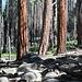 Im Aufstieg zwischen Nevada Fall und Sub Dome - Am Wegrand. An einigen Stämmen sind die Folgen eines Waldbrands zu erkennen.