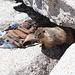 Gipfelplateau Half Dome - ... checkt noch schnell die Lage ... [Folge 6/7; Fortsetzung folgt].