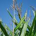 Über 2,5 m hohe Maispflanzen