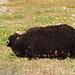 Schwarzes Schaf unter den weissen Schwarznasenschafen. Ich denke jedoch, dass das unter Schafen nicht so relevant ist.