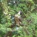 exotischer Vogel in Akazienkrone