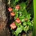 Impatiens papilionaceae nach Gewitterregen - eine der botanischen Raritäten am Kili - gehört zu den Springkräutern