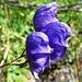 Geplauder in Tiefblau - Blauer Eisenhut