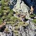 Steinbockfamilie turnt in unfassbar steilem Terrain herum -  ganz ohne Eisentritte oder Stahlseil  (Danke für den Hinweis dass es keine Gämsen sind @Gemse ;))