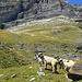 Glückliches Schafleben auf der Alp Ramoza II (falls nicht der böse Wolf kommt, der erst kürzlich 3 Schafe gerissen haben soll, wie ich bei einem Schwatz mit einem der Älpler erfahren musste)