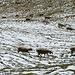 Schafe im Schnee - und das im August!