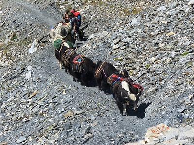 Yak-Trekking im Anmarsch
