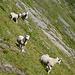 Aufmerksame Bergsteiger-Schafe