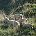 Schaf-tarn-Versuch