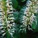 Strauch-Rosskastanie (Aesculus parviflora) in einem Garten in Frenkendorf. Die Pflanze ist stammt ursprünglich aus dem Südosten der USA (Alabama, Georgia und South Carolina).