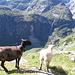 Le pecore e la cascata.