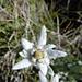 Edelweiss.