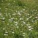 Blumenwiesen beim Abstieg