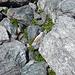 Mont-Cenis-Glockenblumen inmitten grünem Verrucano