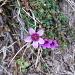 Sassifraga a foglie opposte (Saxifraga oppositifolia)