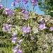 Rundblättrige Glockenblume (Campanula rotundifolia).