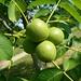 Früchte der Echten Walnuss (Juglans regia).