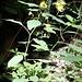 noch ne nette gelbe Pflanze ein Großes Springkraut, auch Rührmichnichtan genannt.