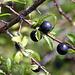 ... Schlehen ... hier die Früchte.<br />Nach dem ersten Frost geertet ergeben sie einen tollen Schlehenwein. <br />Aber Vorsicht beim Pflücken, der Schrauch hat ekliche Dornen