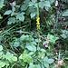 Eine nette gelbe Blume Kleiner Odermennig (Agrimonia eupatoria). zwischen Indischen Springkraut