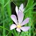 die Blüte der äußerst giftigen Herbstzeitlose aus der Nähe